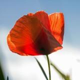 poppy-619313_1920.th.jpg