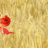 red-poppy-143484_1280.th.jpg