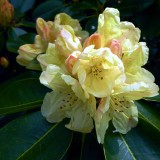 rhododendron-bloomed-785766_1920.th.jpg