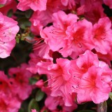 rhododenron-217367_1920.th.jpg