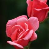 rose-140853_1920.th.jpg