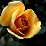 rose-141314_1920.th.jpg