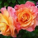rose-174817_1920.th.jpg