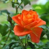 rose-178682_1280.th.jpg