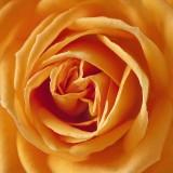 rose-186452_1280.th.jpg