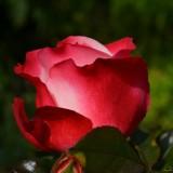 rose-386396_1920.th.jpg
