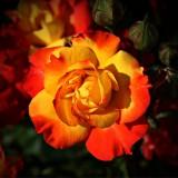 rose-408341_1920.th.jpg