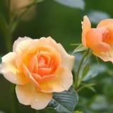 rose-616013_1920.th.jpg