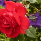 rose-7634_1920.th.jpg