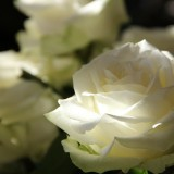 roses-108132_1920.th.jpg