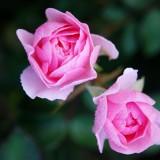 roses-22802_1920.th.jpg