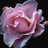 roses-56702_1920.th.jpg
