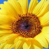 sun-flower-179010_1920.th.jpg