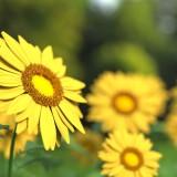 sunflower-1421011_1920.th.jpg