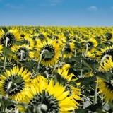 sunflower-175821_1920.th.jpg