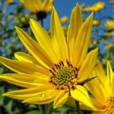 sunflower-229719_1280.th.jpg