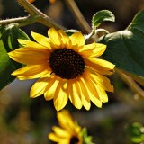 sunflower-62049_1920.th.jpg