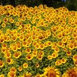 sunflowers-76119_1920.th.jpg
