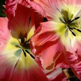 tulip-1122242_1920.th.jpg