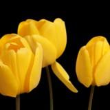 tulips-1364024_1920.th.jpg