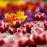 tulips-65305_1920.th.jpg