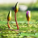 water-lilies-1388690_1920.th.jpg
