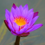 water-lily-139364_1920.th.jpg