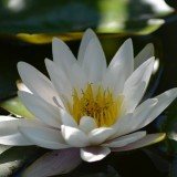 water-lily-140727_1920.th.jpg