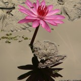 water-lily-4464_1920.th.jpg