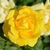 yellow-rose-196393_1920.th.jpg