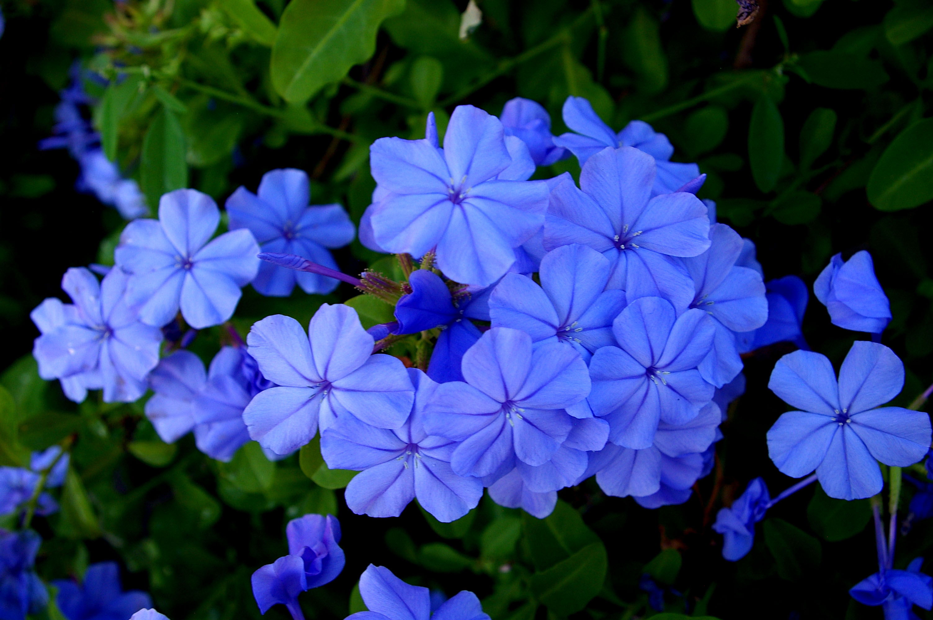 What do blue flowers mean beautiful flower 2017 the meaning and symbolism of blue flowers izmirmasajfo Choice Image